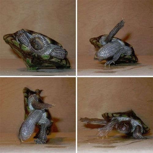 Breakdancing-turtle-1672-1258423823-57